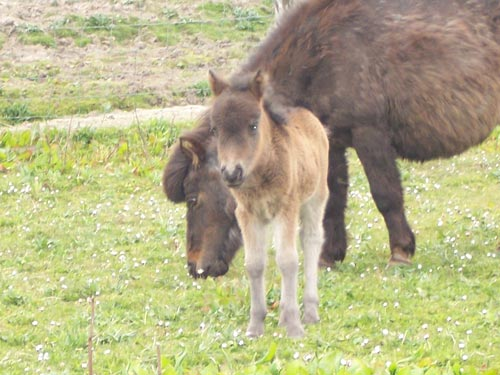Miniature Foal on Rousay