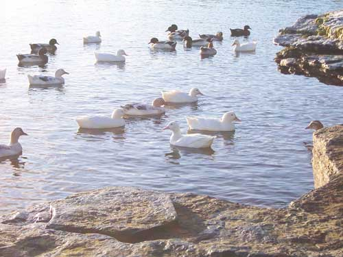 Ducks on Rousay