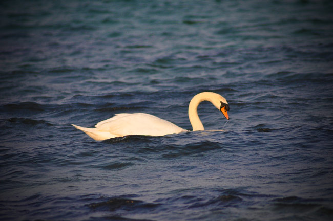 Swan at Saviskaill Beach